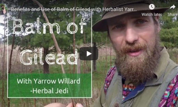 Balm of Gilead Tree: Finding and Using Cottonwood and Poplar Tree Medicine