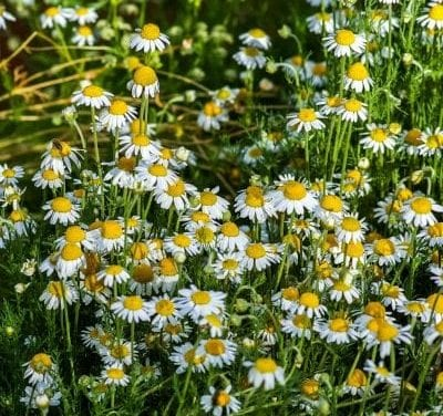 Chamomile Resources: Links, Videos, Learning and Use