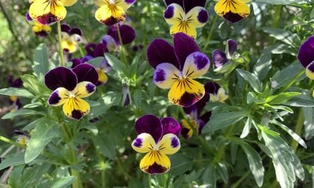 Viola Magic: Magickal Properties and Uses of Violet