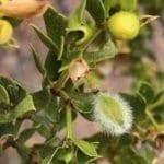 Quick Facts about Larrea tridentata aka Creosote Bush, Chaparral