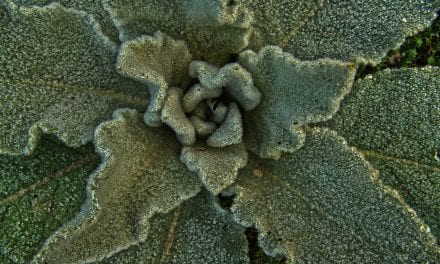Mullein Resources: Links, Videos, Learning and Use