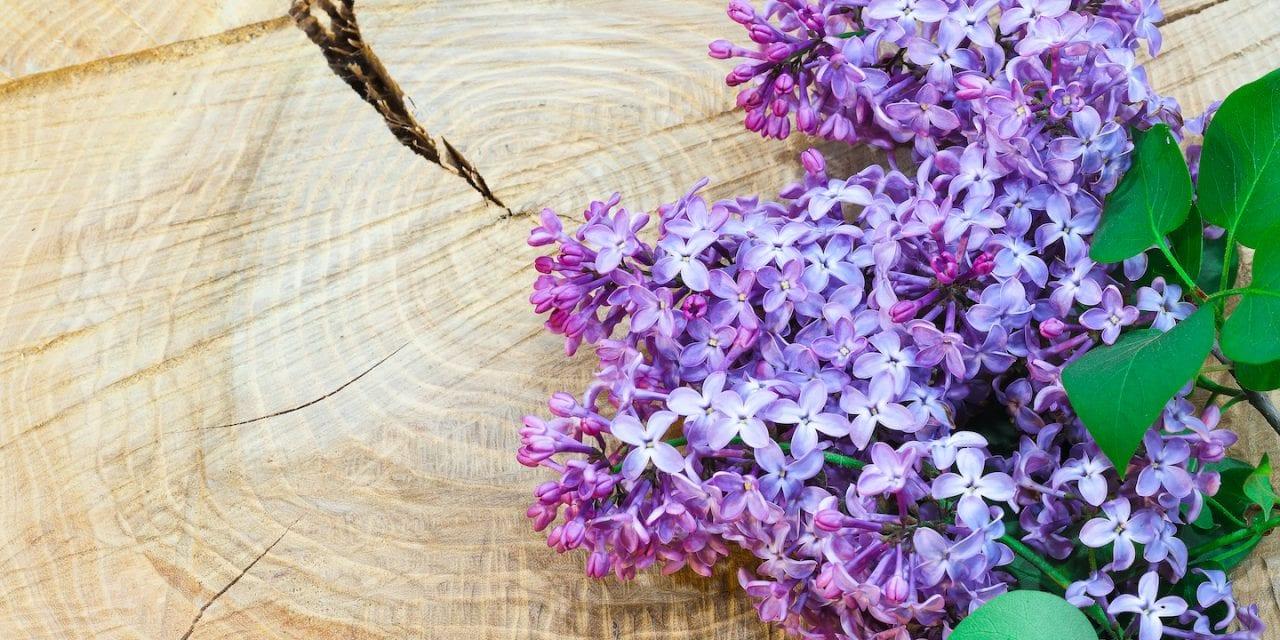 Lilac Myth, Magic, Folklore, and History