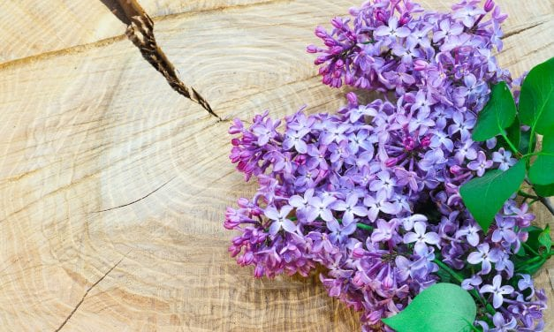 Lilac Myth, Magic, Folklore, and History