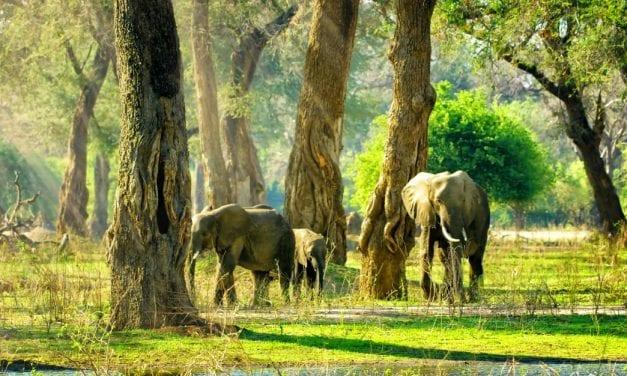 Gotu Kola for Spiritual Healing: Elephant Wisdom in Practice