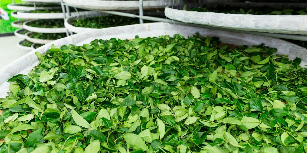 Camellia sinensis: Tea in Many Colors