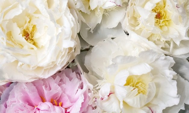 Peony Herbal Properties and Uses