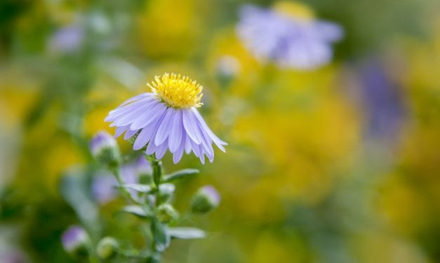 Aster Herbal Properties and Uses: Garden Respiratory Remedy