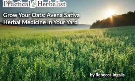 Sow Oats and Reap Rewards: Grow and Harvest Avena Sativa, Milky Oats