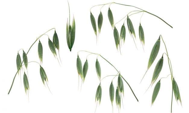 The Myth and Magic of Avena Sativa: Milky Oats are Spiritual Medicine