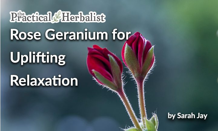 Rose Geranium for Uplifted Relaxation: Herbal Home Remedy