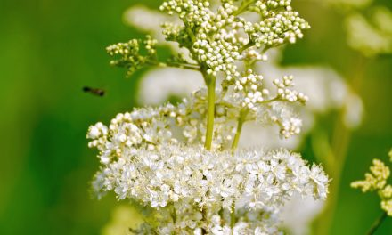 Meadowsweet Myth, Magic, History, and Folklore